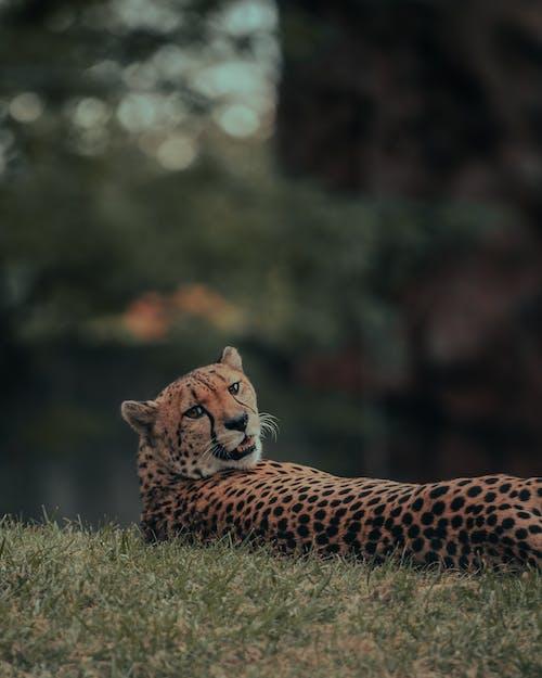 CheetahLaying Down and Looking at Camera