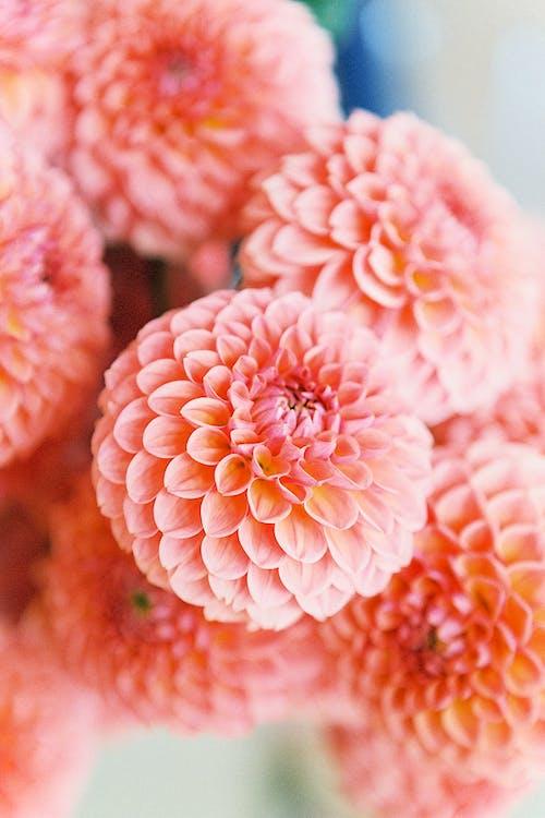 Photography of Dahila Flowers