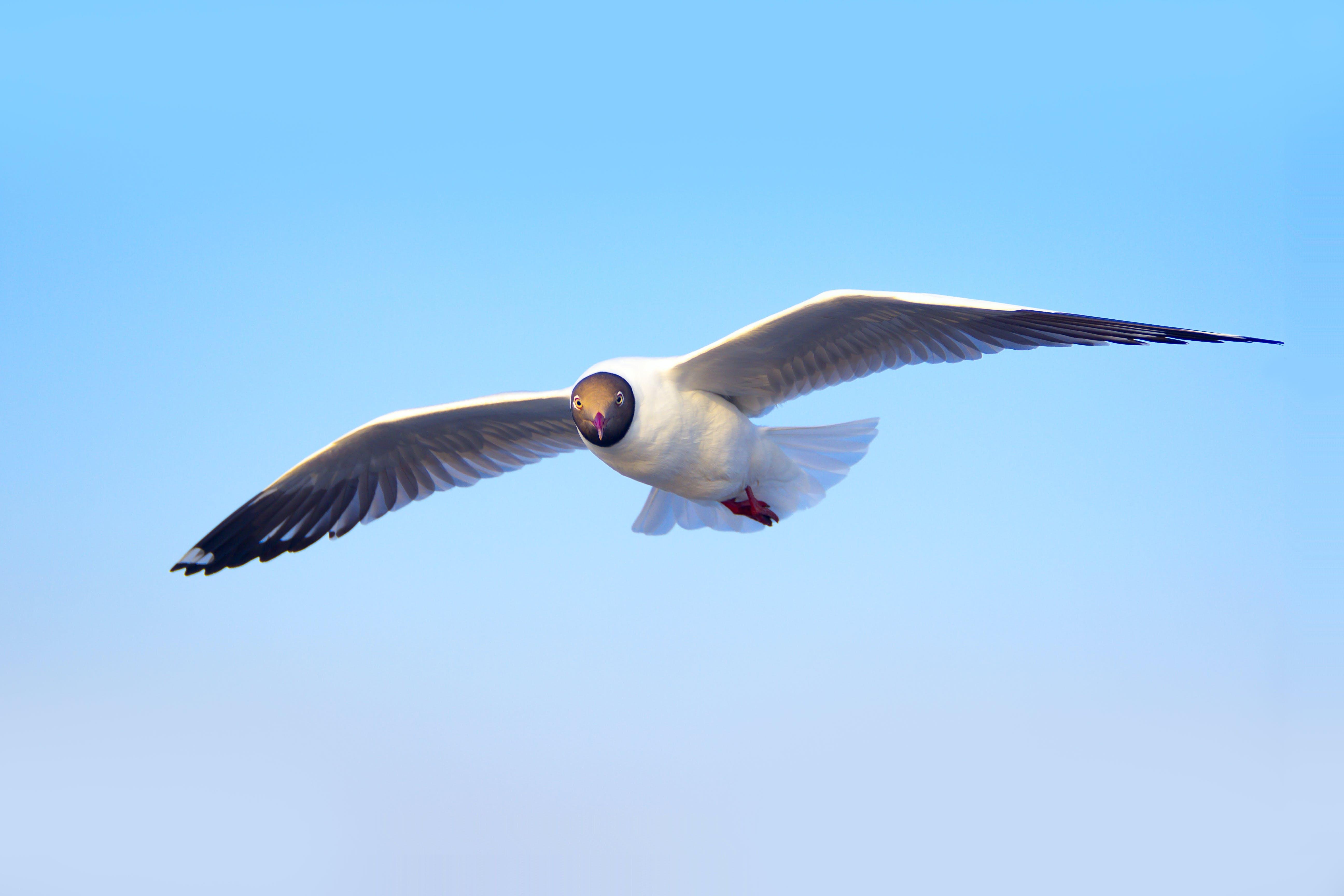 Základová fotografie zdarma na téma fotografování zvířat, létání, obloha, racek