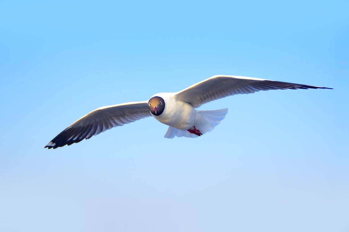 animal photography, flying, gull