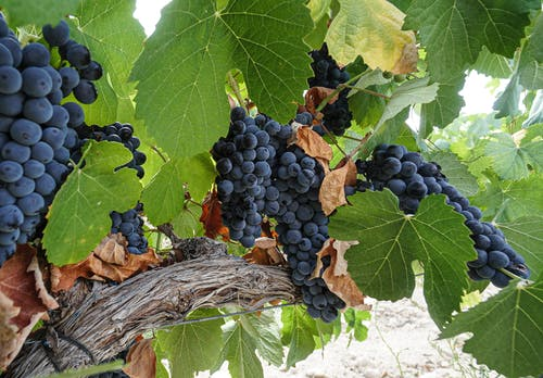Free stock photo of grapes, grapevines, green plants