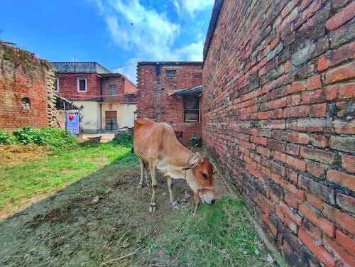 Бесплатное стоковое фото с коричневая корова, корова, коровье лицо