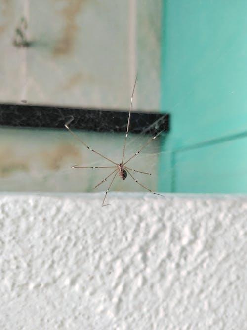 Бесплатное стоковое фото с европейский садовый паук, паук, паук-скакун