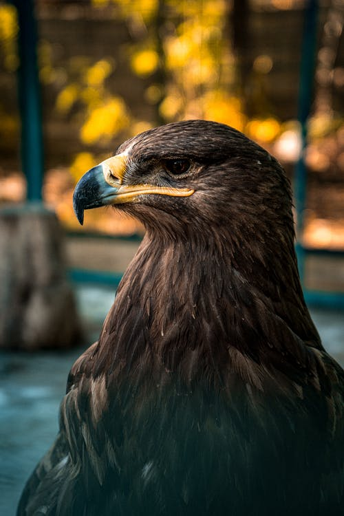 Close-Up Photo of a Golden Eagle's Head