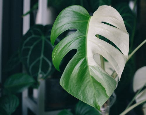 Heart Shaped Green and White Leaf of White Monstera