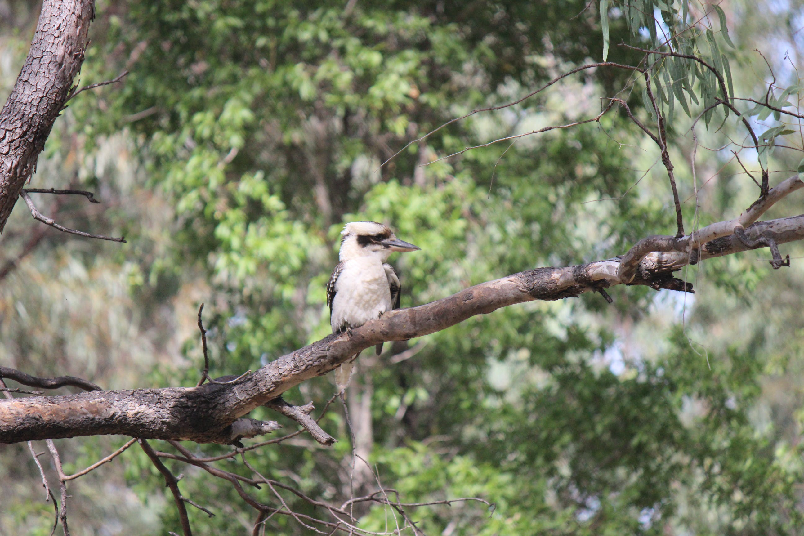 Brown and White Kookaburra Perched on Tree