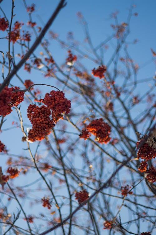 Gratis lagerfoto af blomst, bær, flora, frugt