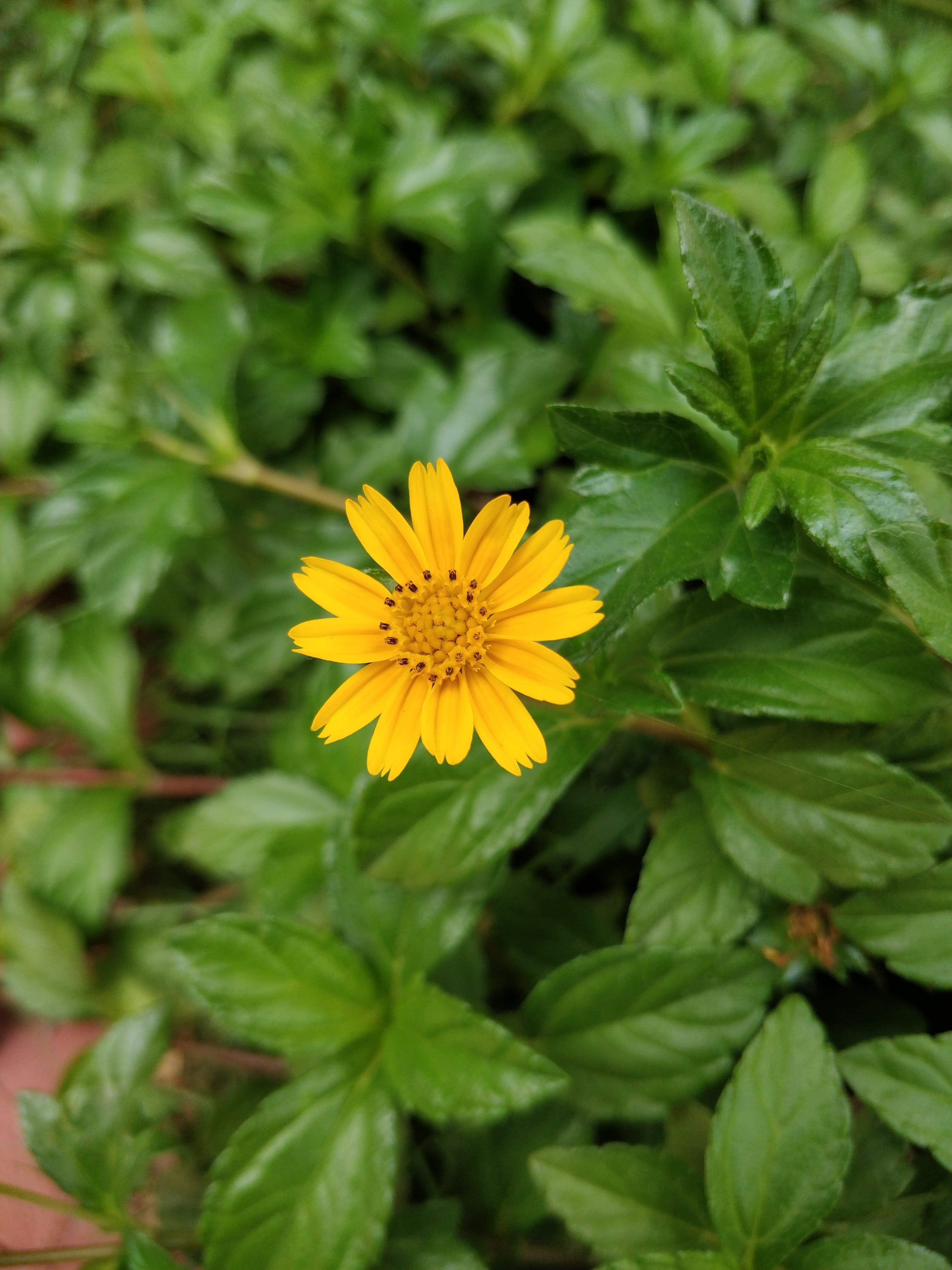Photo of Yellow Tithonia Flower