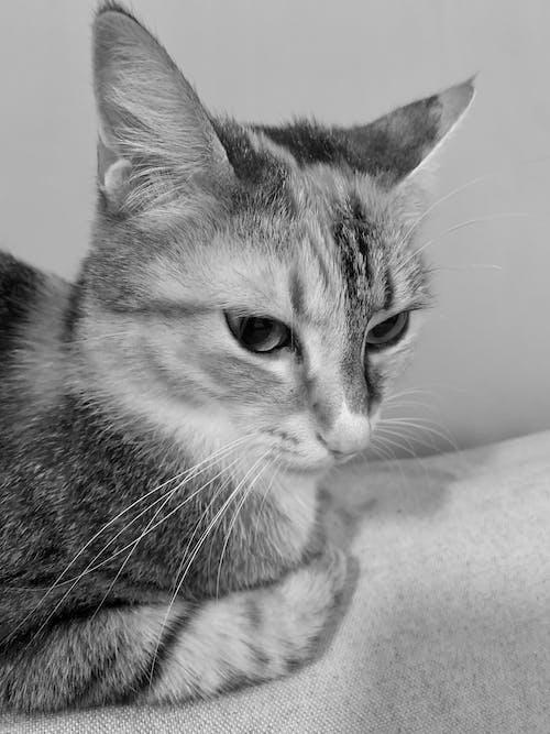 Immagine gratuita di bianco e nero, gatto calico