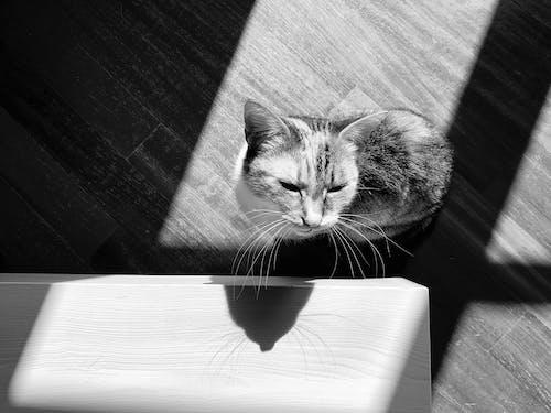 Immagine gratuita di bianco e nero, gatto calico, pavimenti in legno