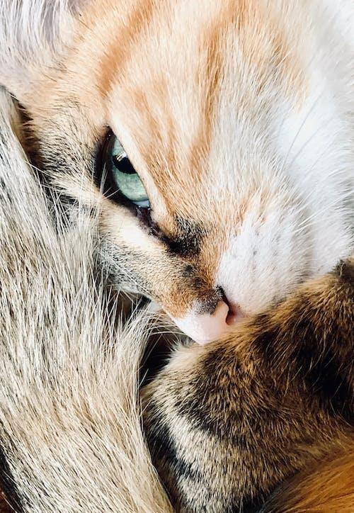 Immagine gratuita di gatto, gatto calico