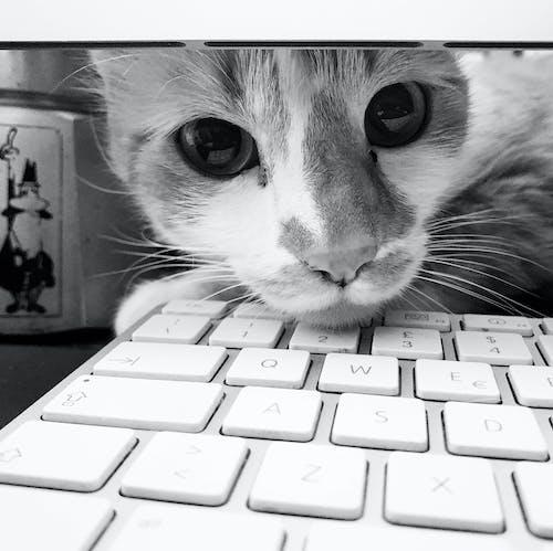 Immagine gratuita di bianco e nero, computer, gatto bicolore