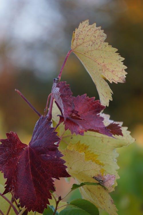 Free stock photo of grape, grapes, landscape