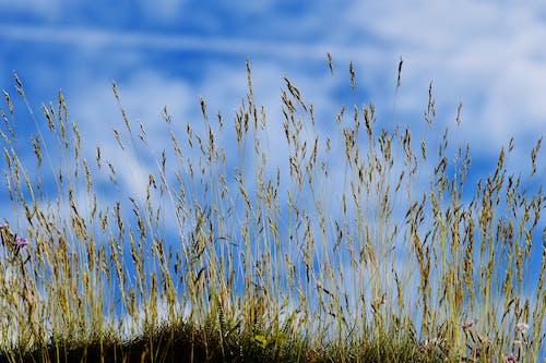 Základová fotografie zdarma na téma cereální, farma, flóra