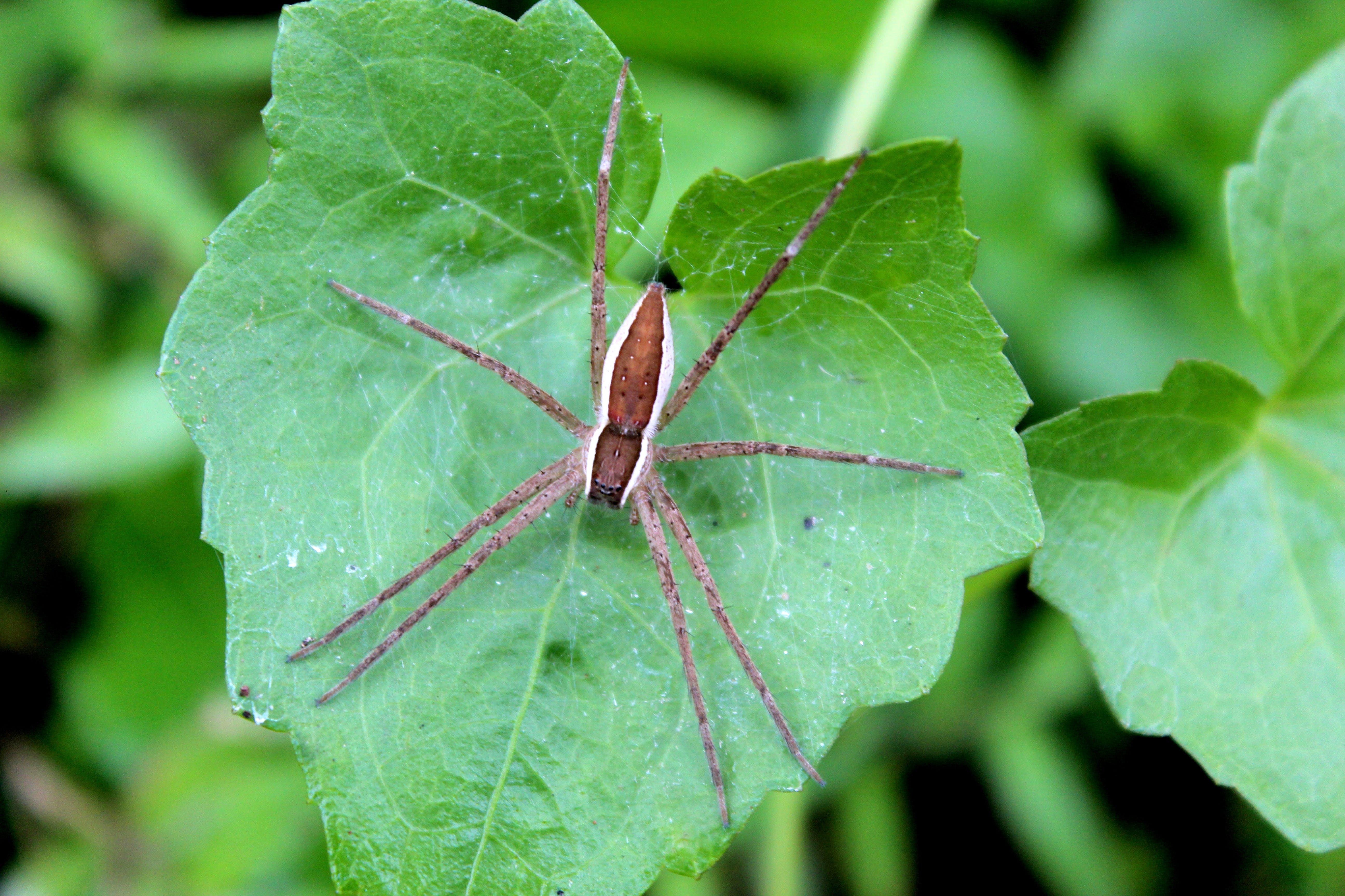 Brown Spider on Green Cordate Leaf