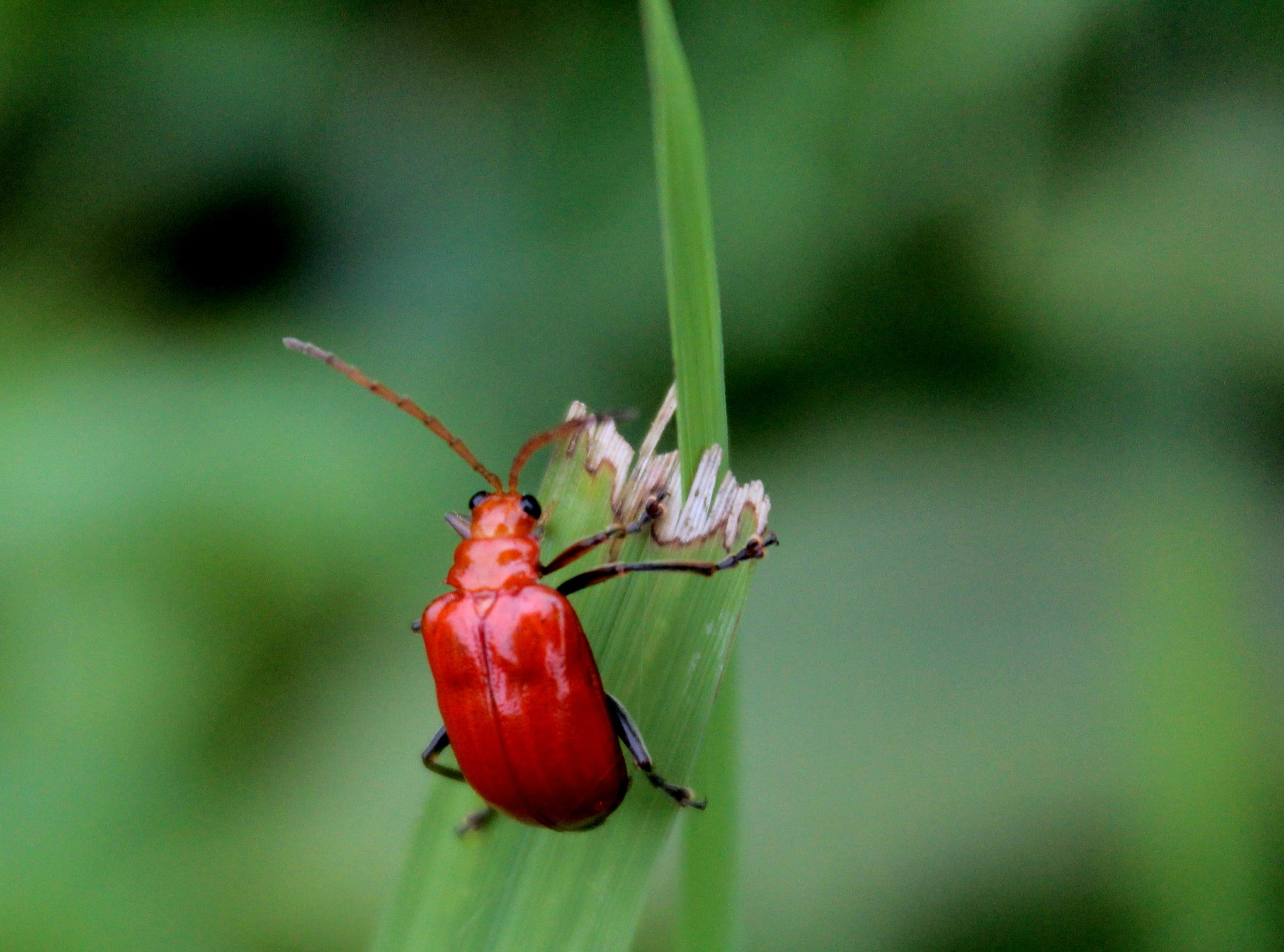 Red Beetle Perched on Green Leaf