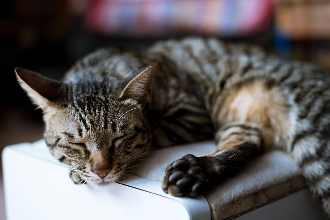 addormentato, adorabile, animale