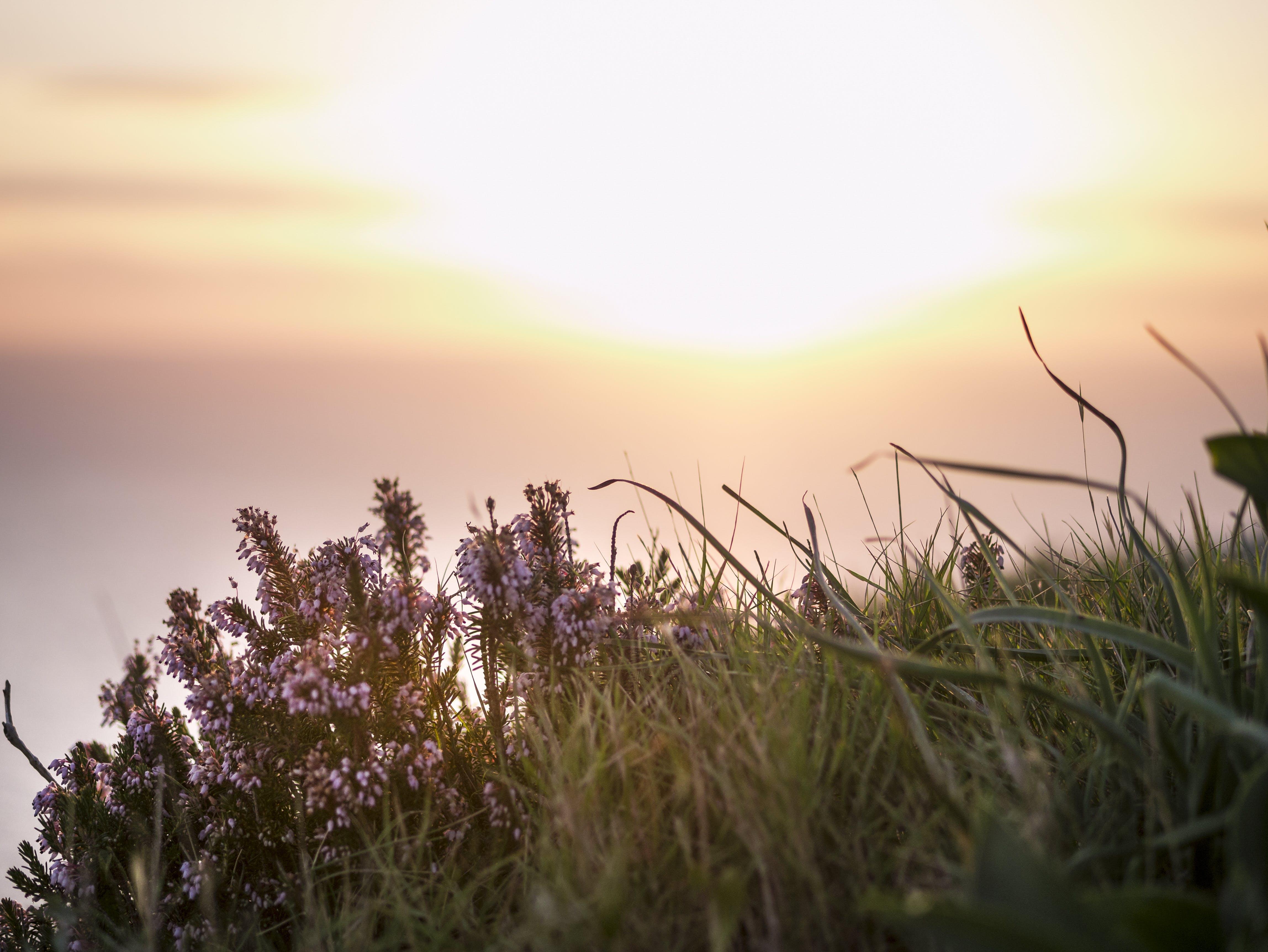 Free stock photo of beach, flower, golden hour, grass