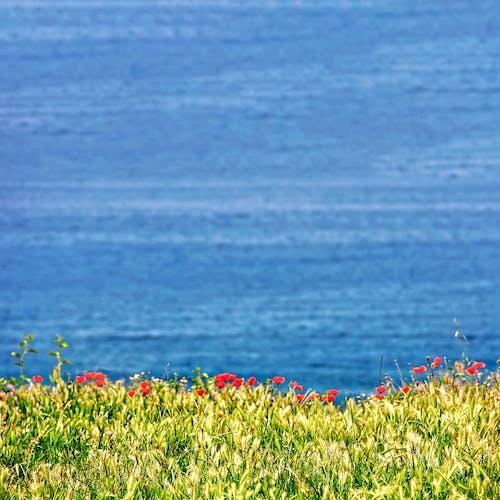 Ảnh lưu trữ miễn phí về anh túc, bên bờ biển, biển, bờ biển