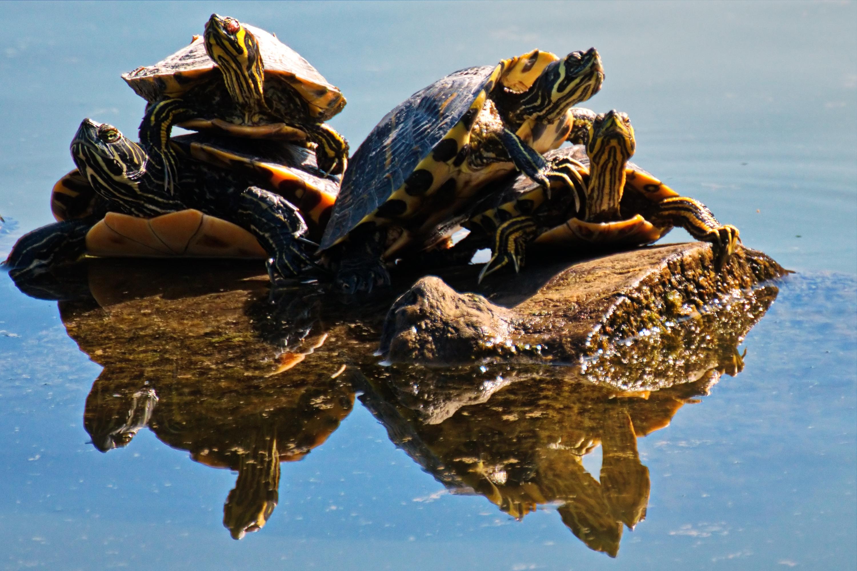 Four Brown Turtles on Brown Log