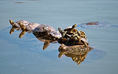 Group of Turtles on Body of Water