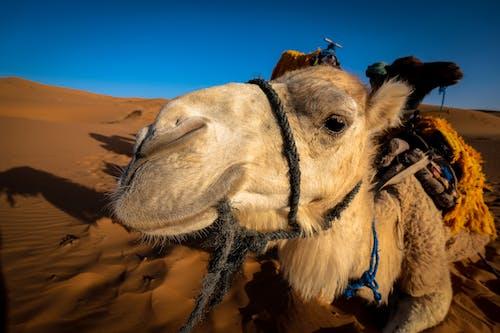 Kostenloses Stock Foto zu abenteuer, arabian kamel, draußen, farbe