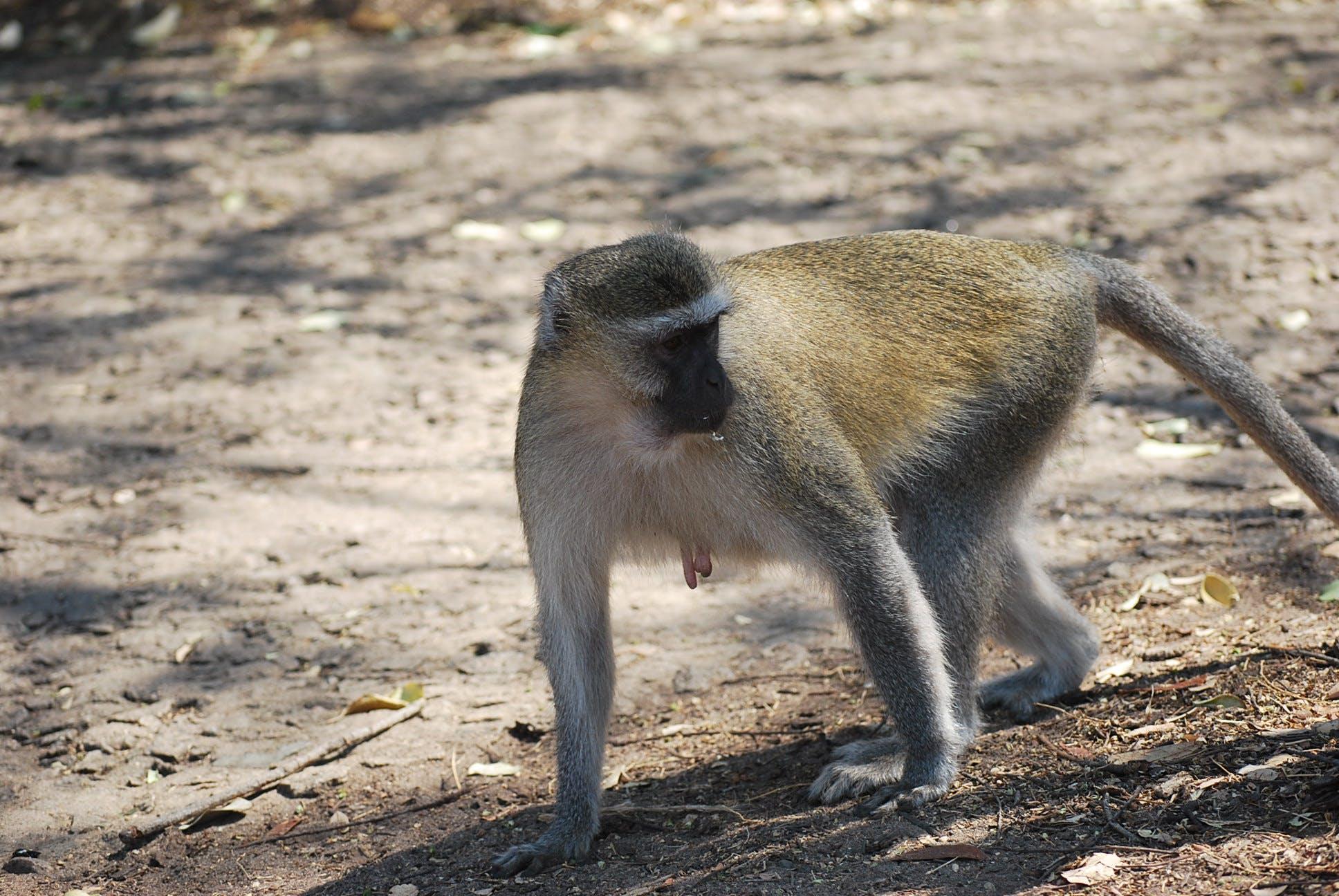 Gratis lagerfoto af abe, abe walking, aber, primater