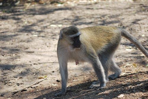 Δωρεάν στοκ φωτογραφιών με μαϊμού, μαϊμούδες, περπάτημα μαϊμού, πρωτεύοντα