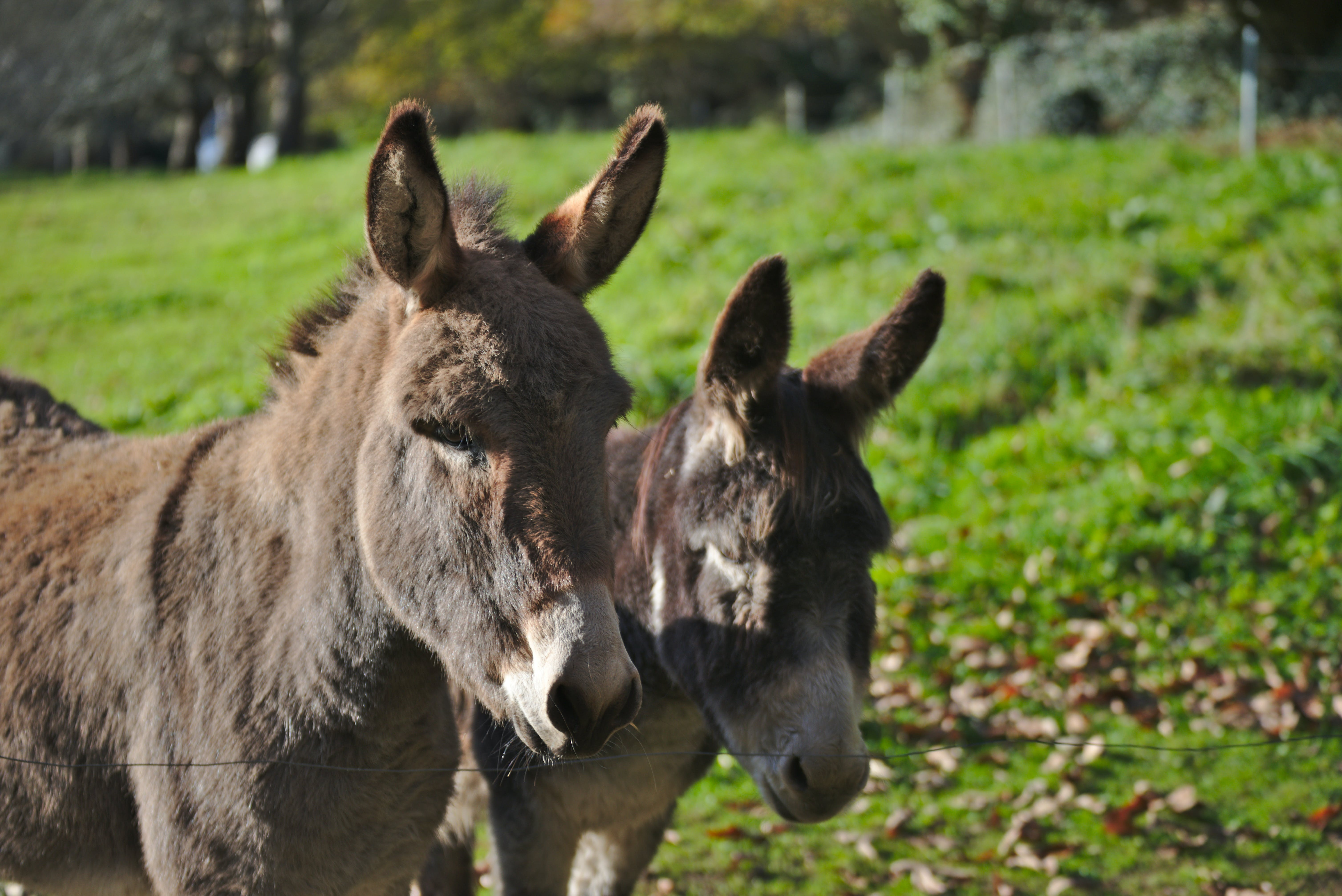 Two Brown Donkeys