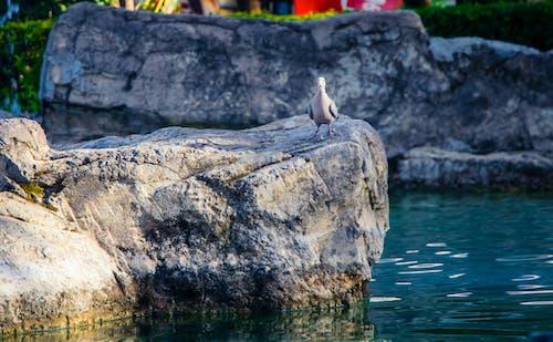 Photos gratuites de caillou, eau, pierre, pigeons