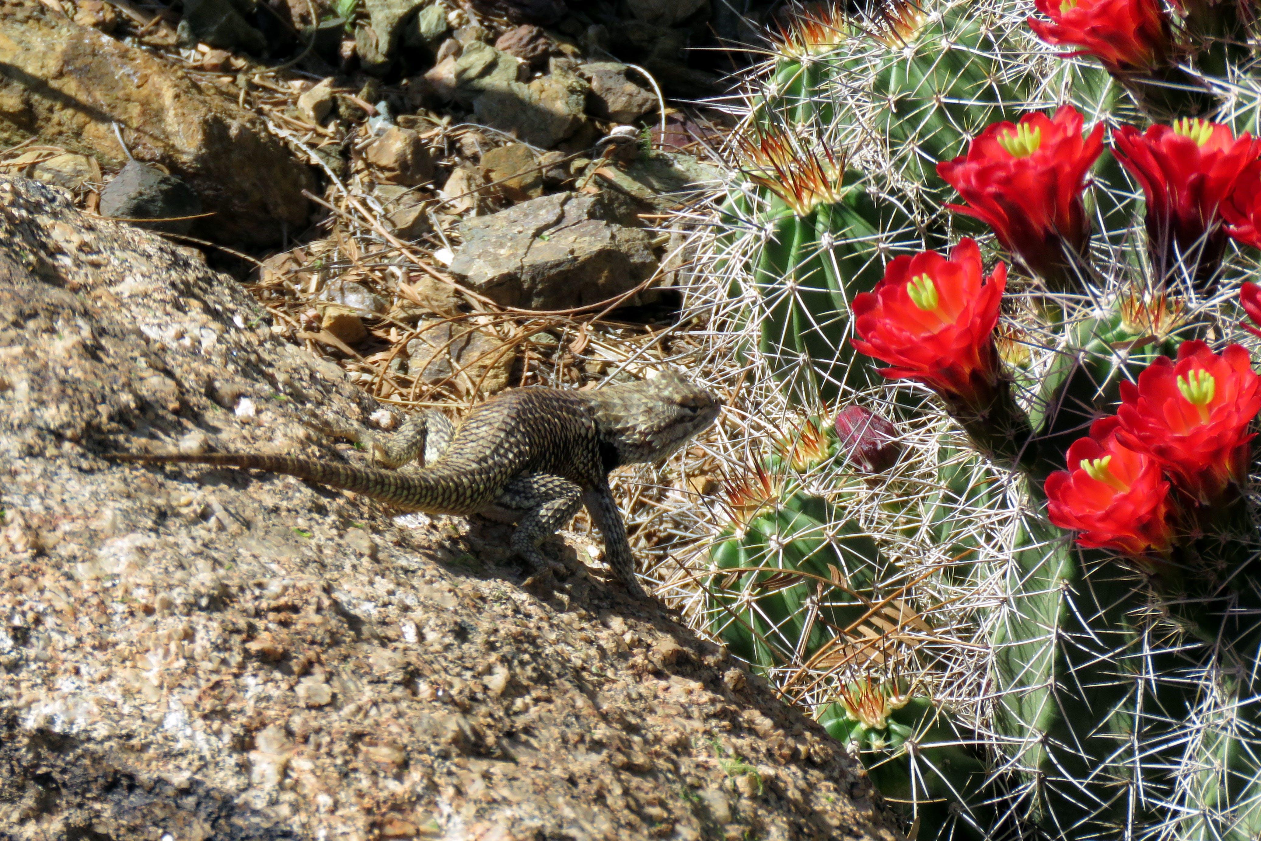 Free stock photo of cactus, cactus bloom, desert, flower