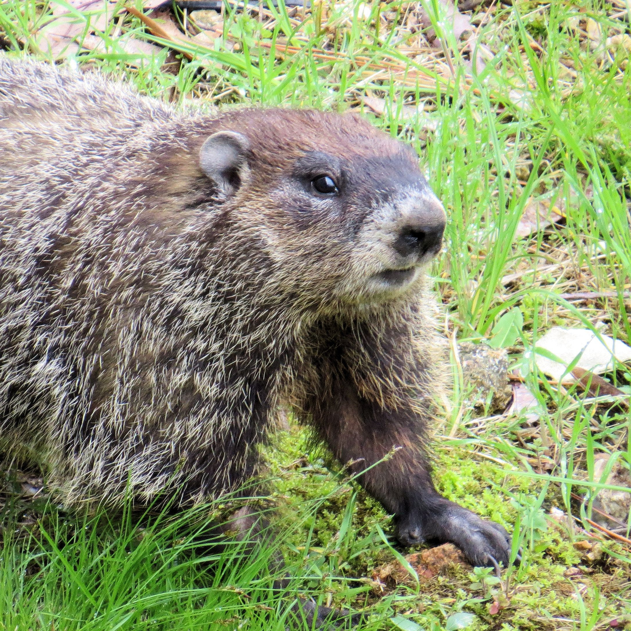 Free stock photo of groundhog, weatherman, woodchuck