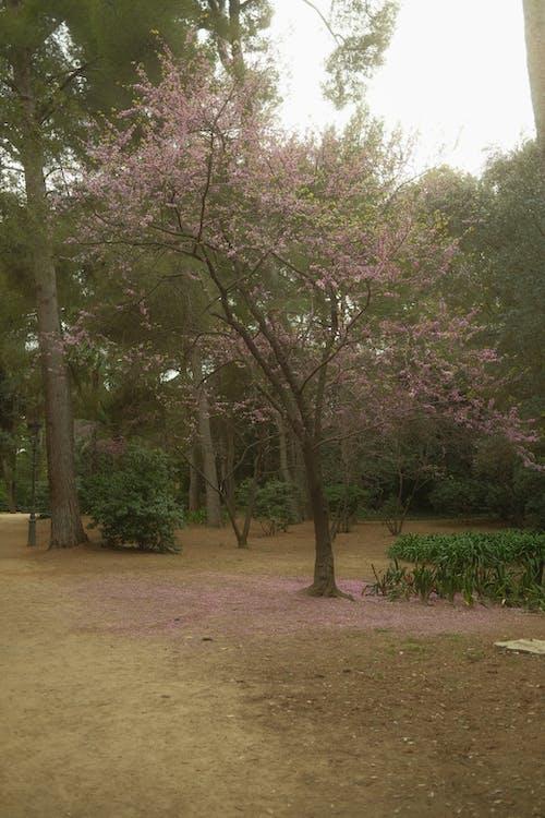 Бесплатное стоковое фото с весна, вишневое дерево, газон