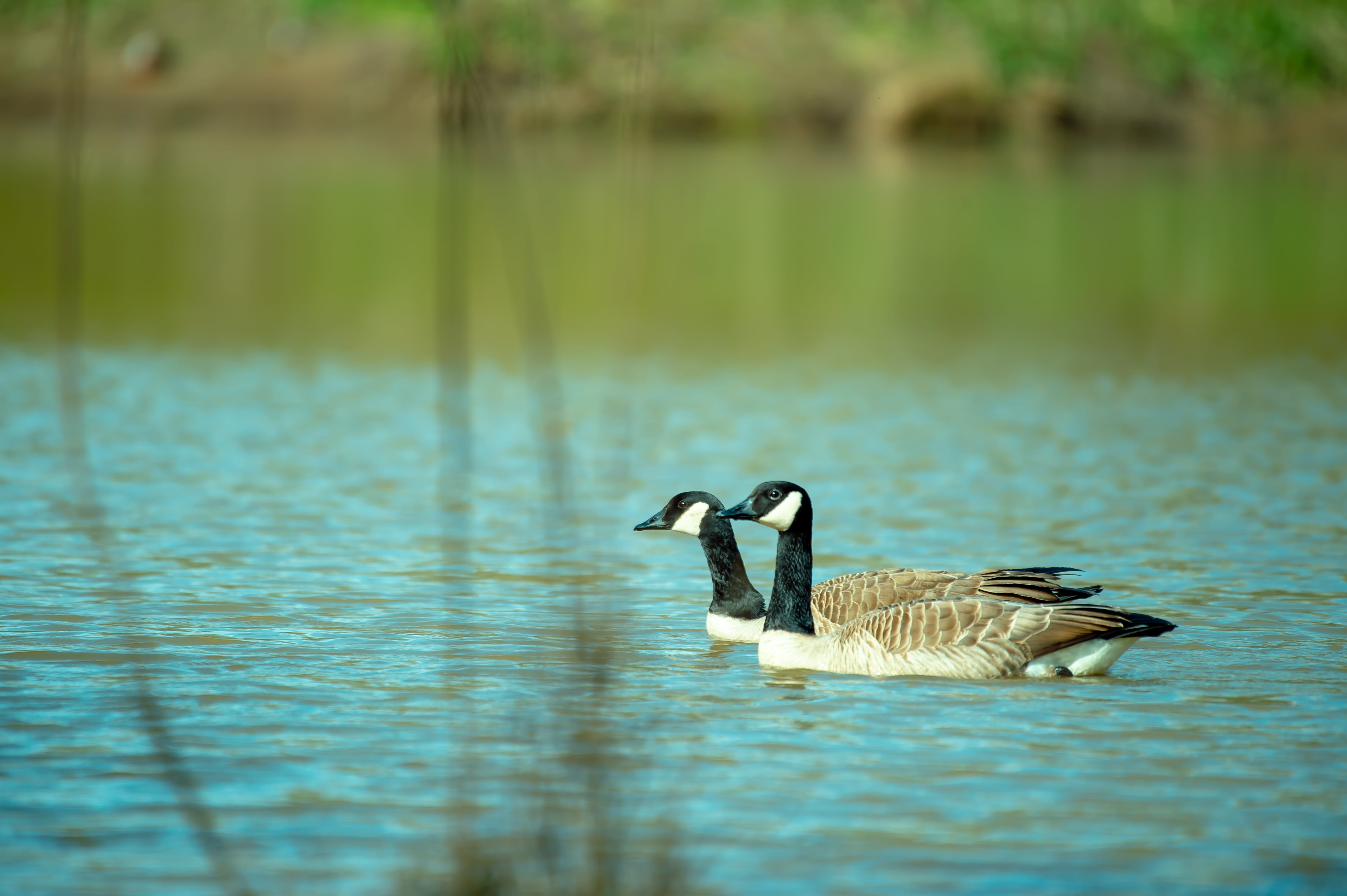 Close-Up Photography of Two Ducks On Water