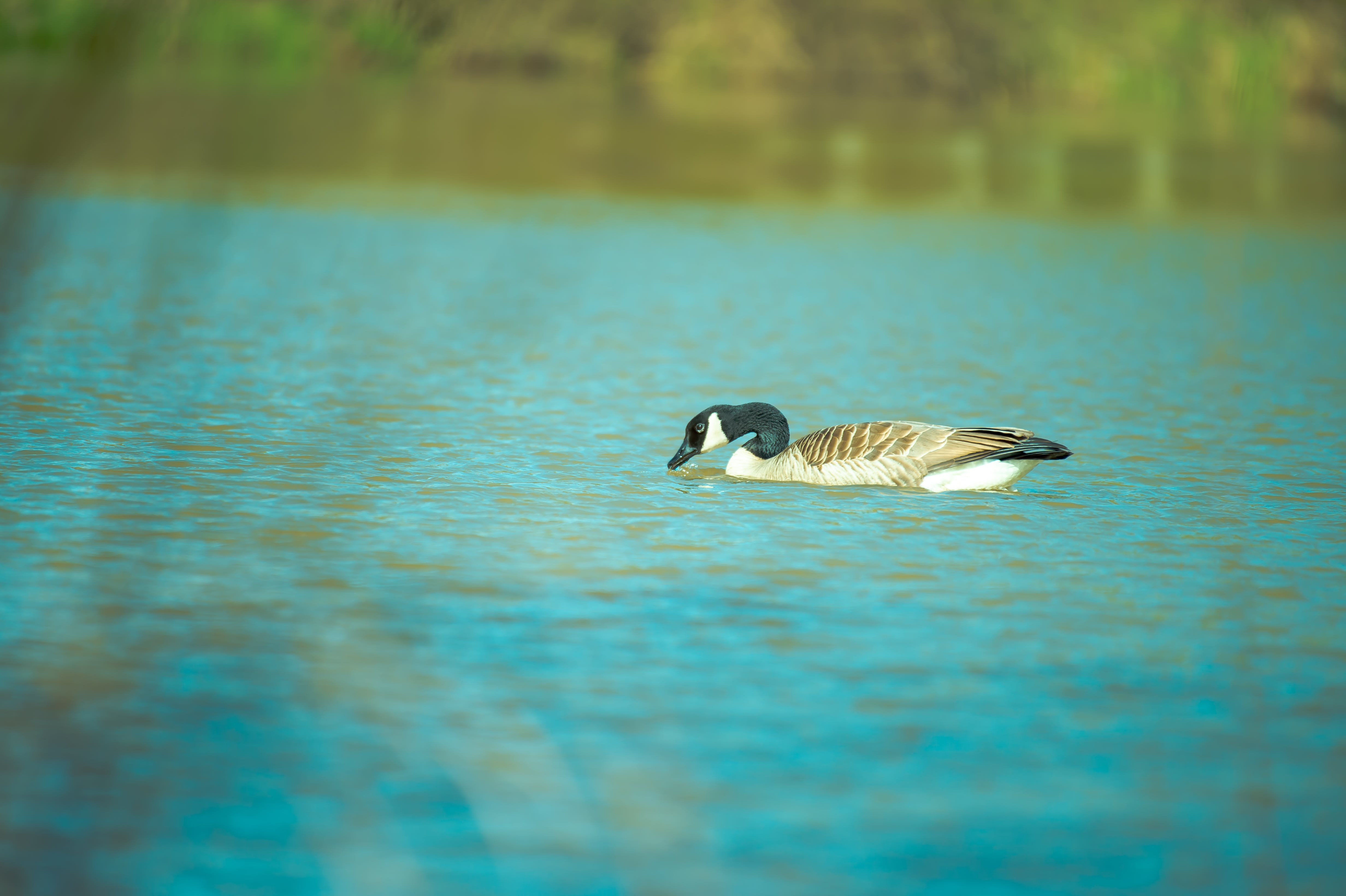 Brown and Black Duck on Body of Water