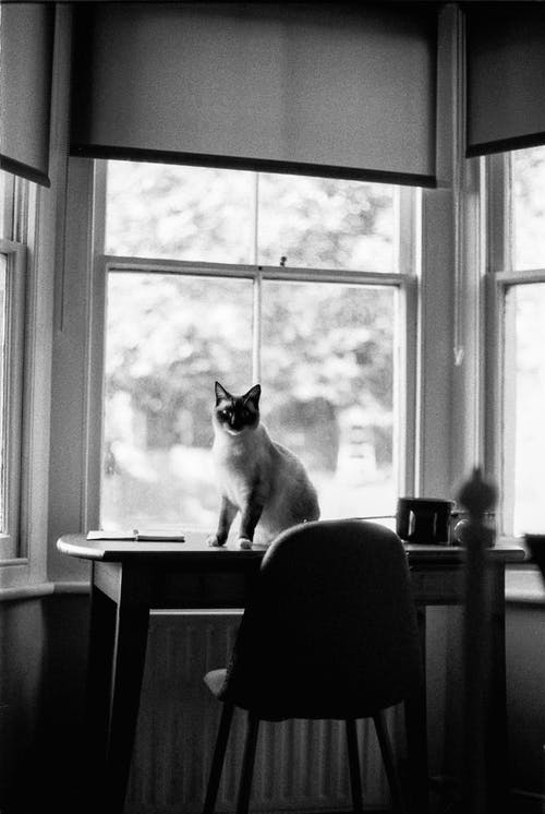 Siamese cat on Table by Window