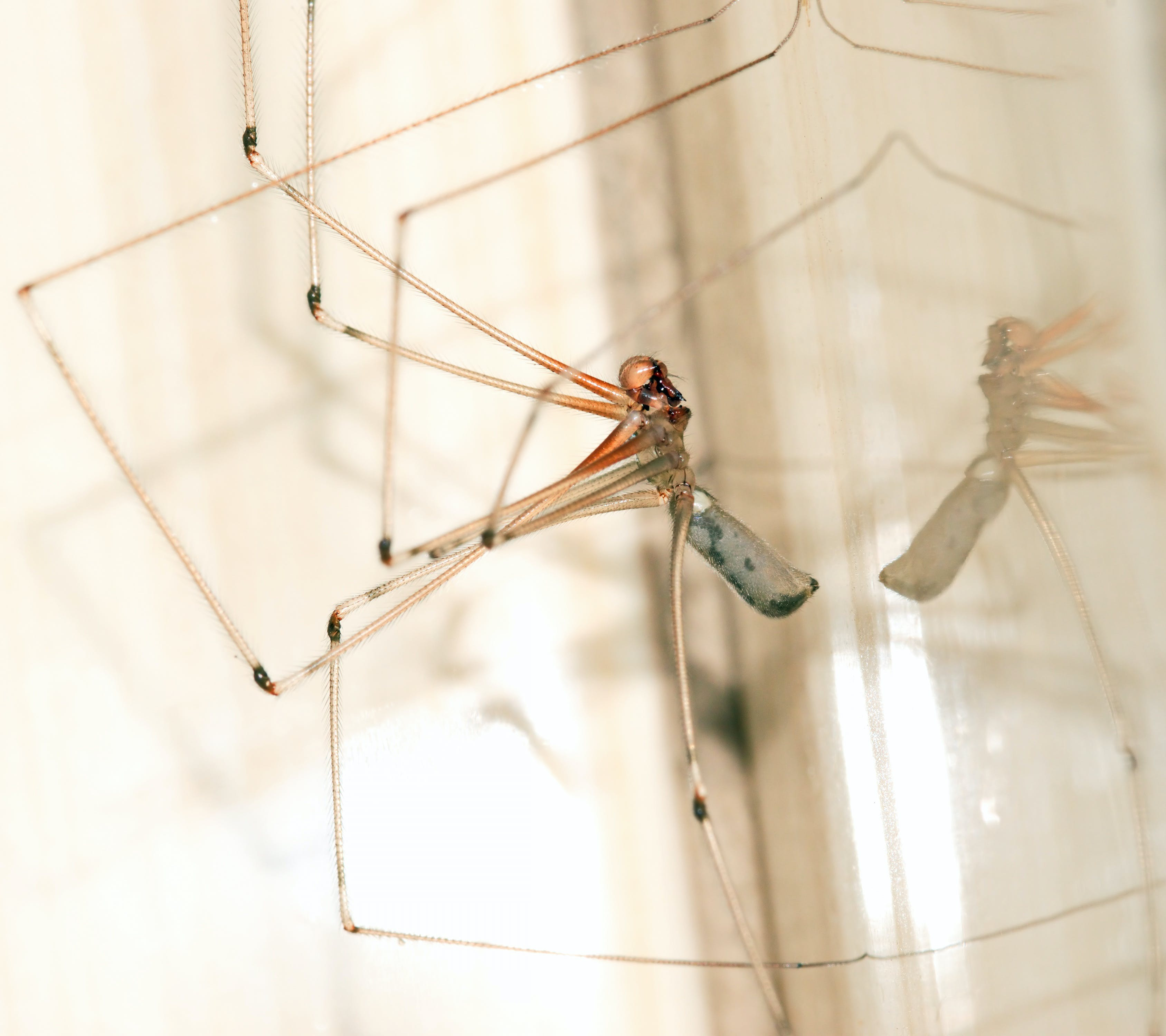 Cellar Spider Closeup Photography