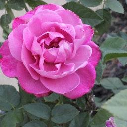 Feli Rose