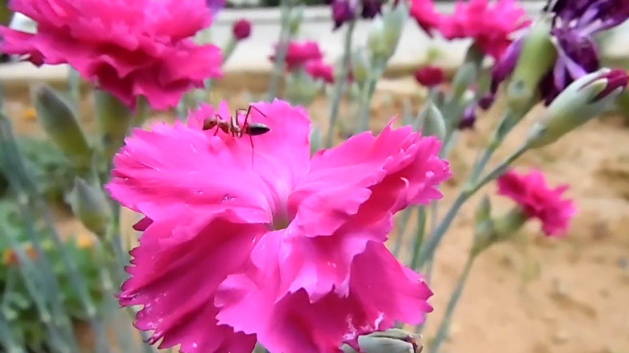 Close Up Video Of Pink Flower