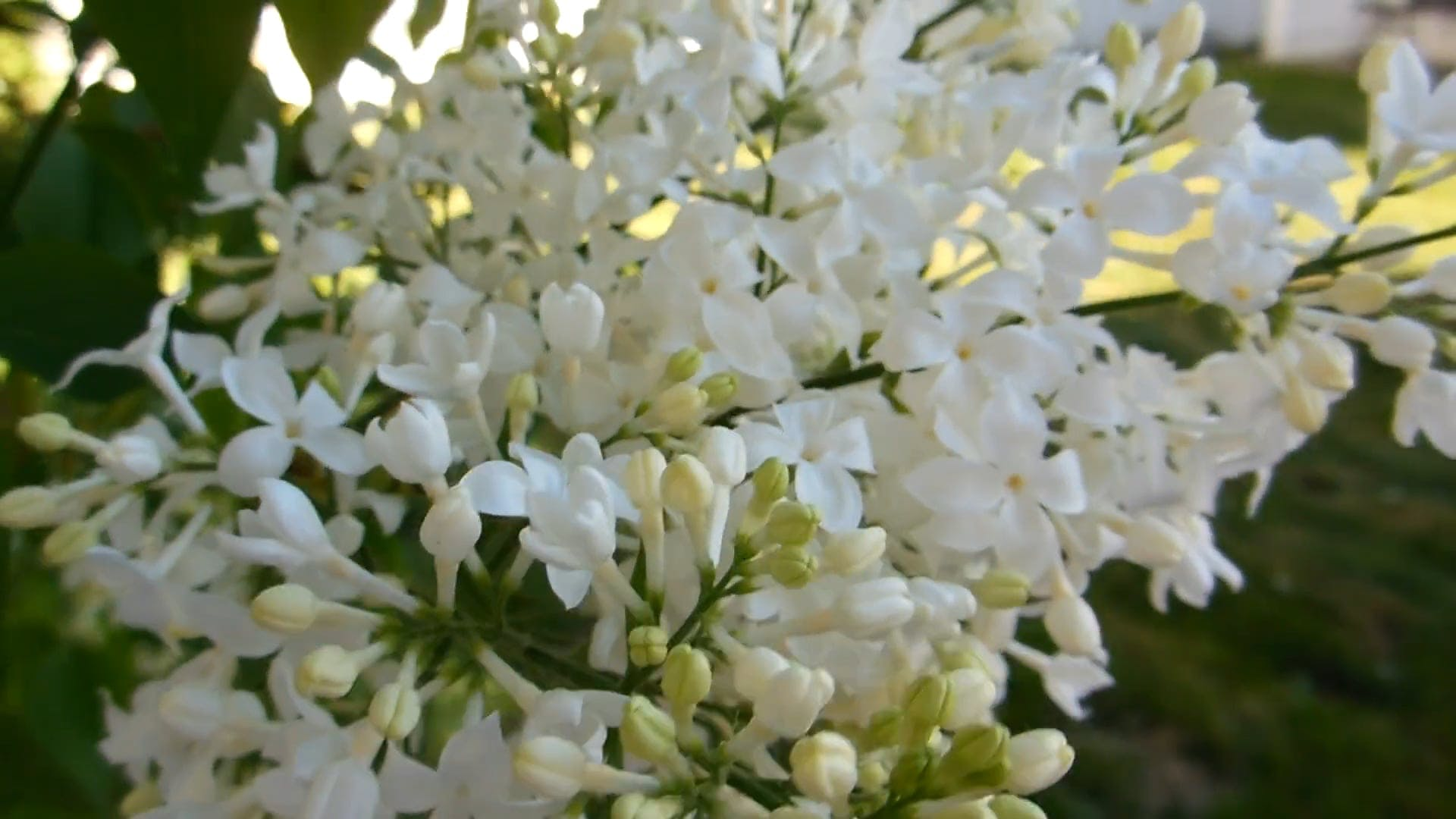 Close Up Video of White Lilac Flowers