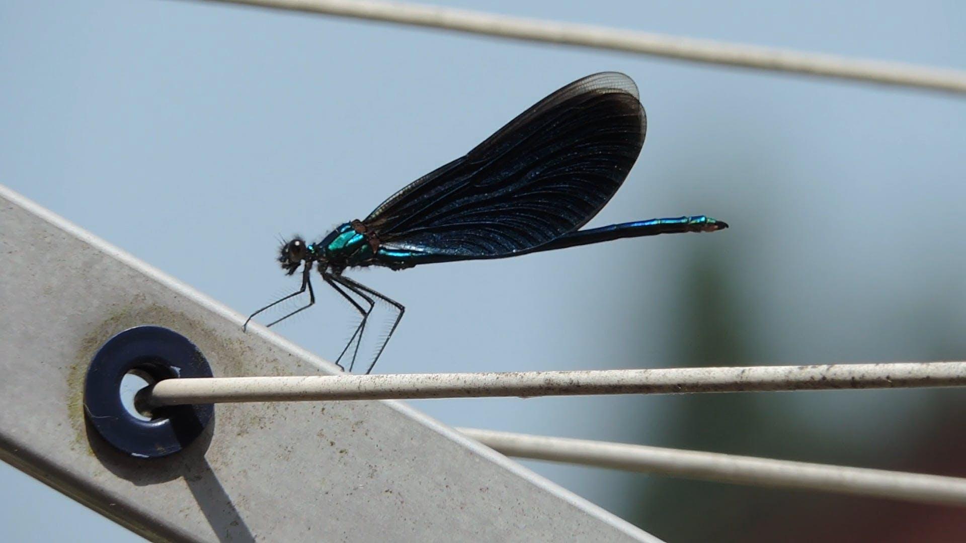 Macro Video Of Blue Dragon Fly