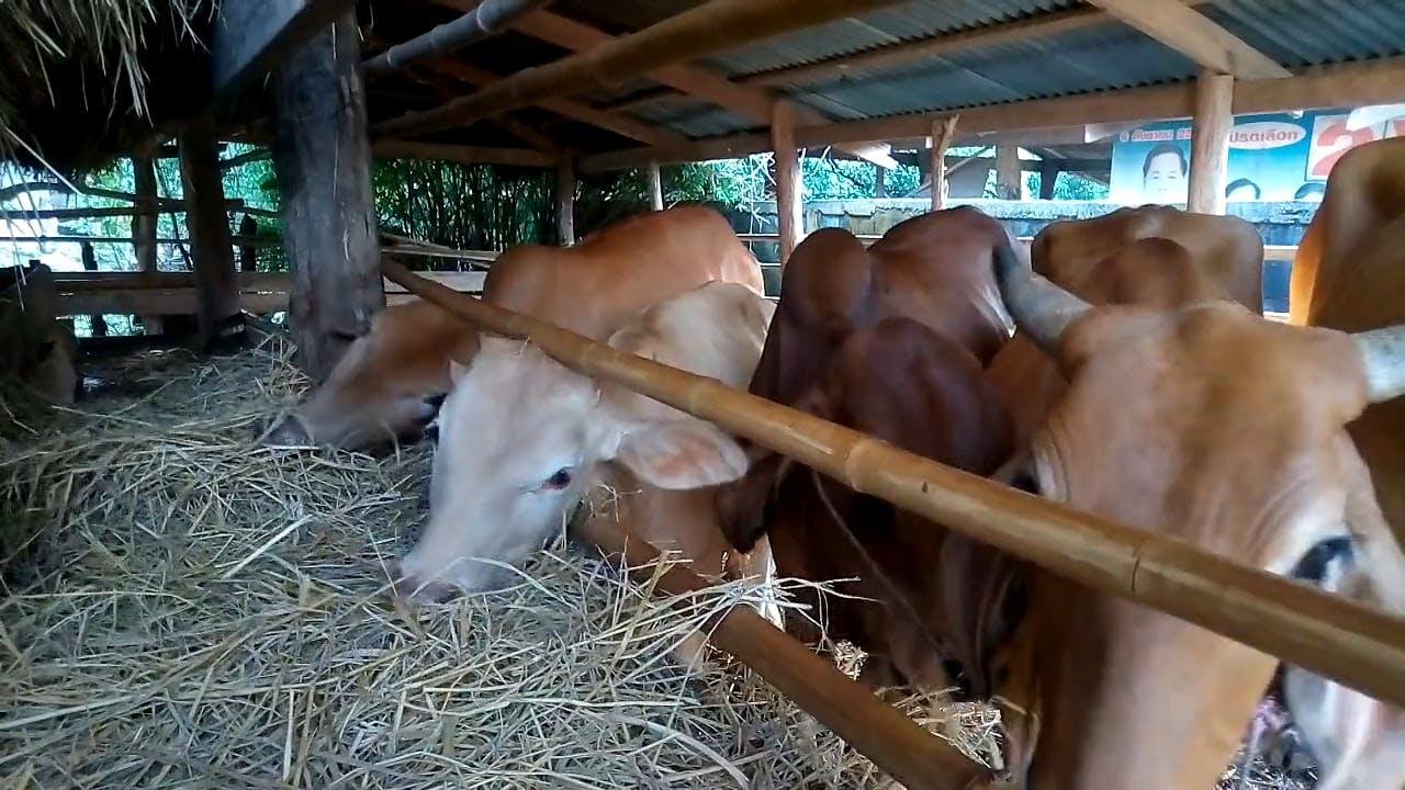 Cows In The Barn Feeding On Hay