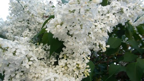 A Tree With White Flowers
