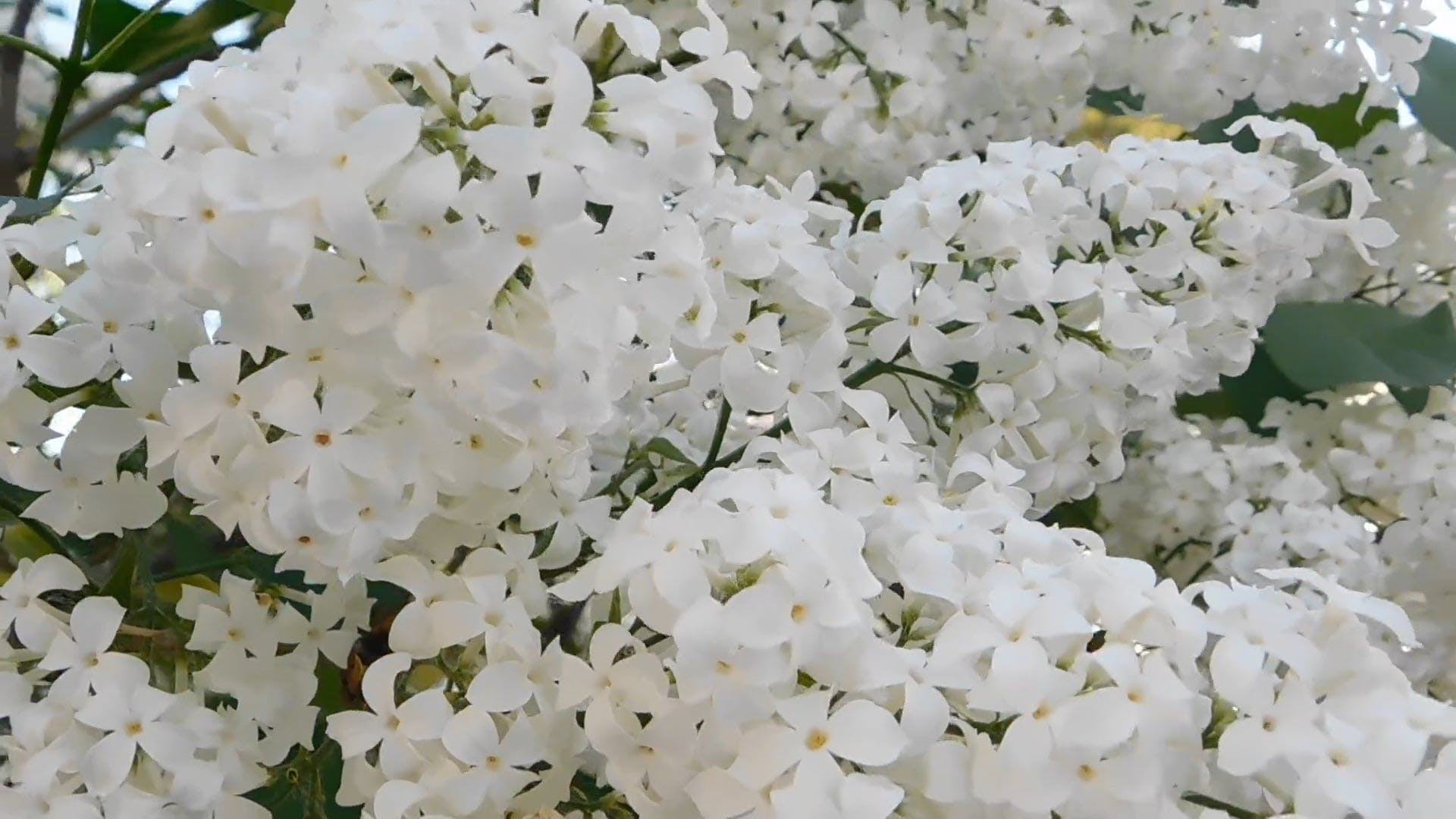 Close-Up Video Of White Lilac