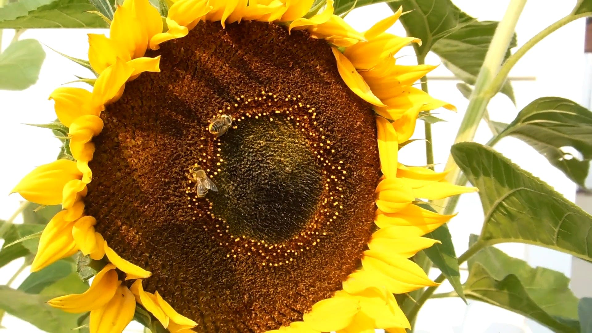 Close-Up Shot Of A Sunflower