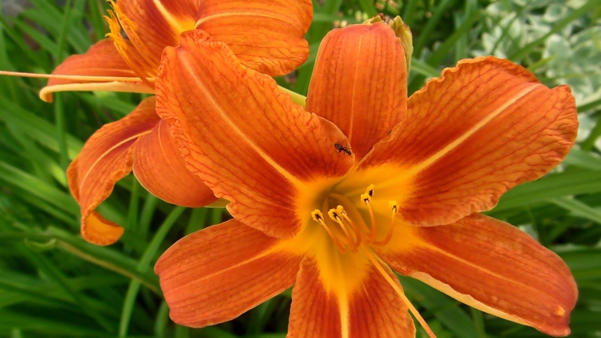 Close-up Video Of Red Orange Flower
