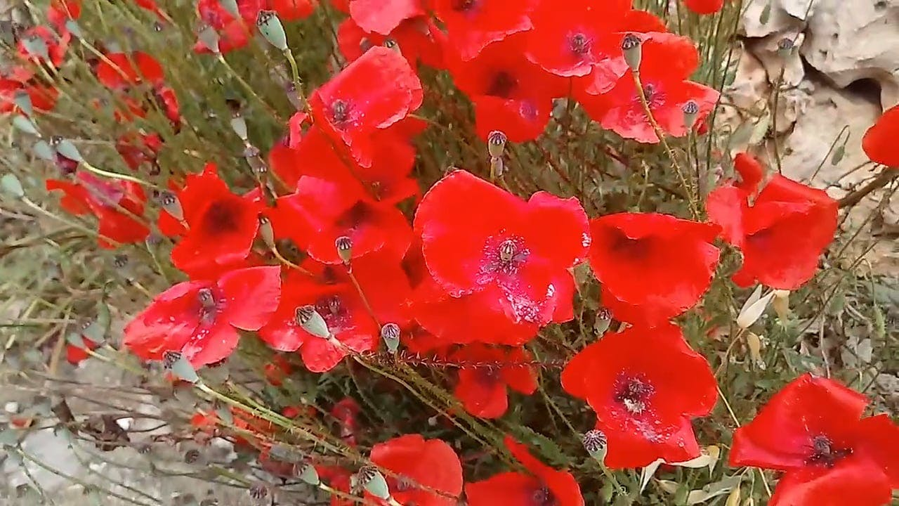 Video Of Red Flower