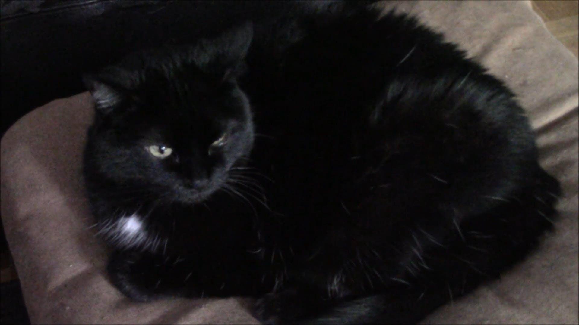 Video Of Black Cat Resting