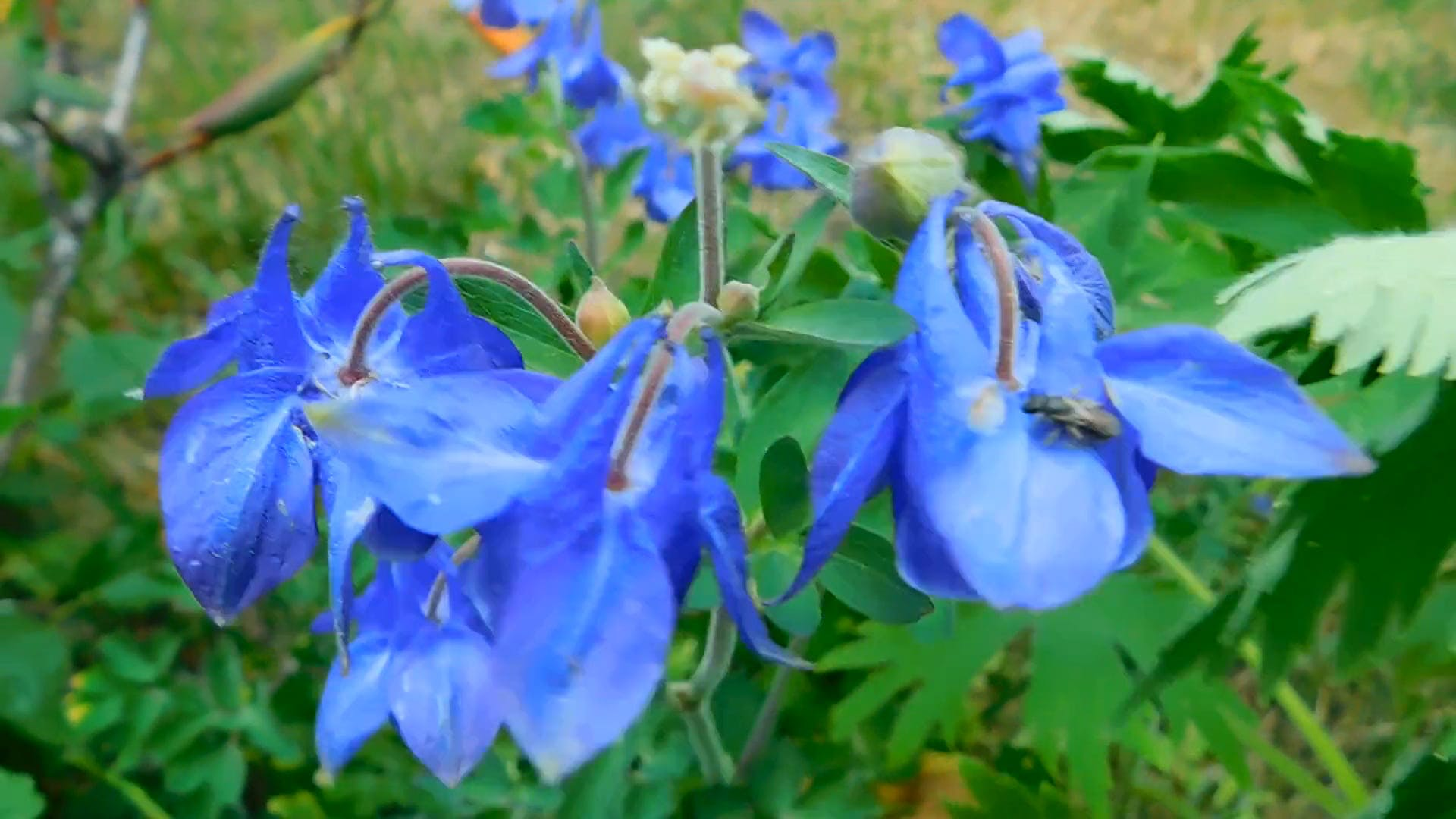 Video Of Blue Flowers