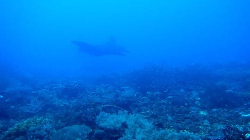 Manta Ray Swimming  Above Coral Reef